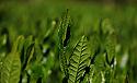 2021 yaş çay hasadı 17 Mayıs'ta başlayacak